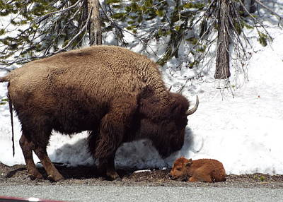 Photograph - Bison Calf After Birth by Cindy Croal