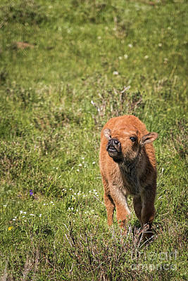 Photograph - Bison Calf Calls by Sonya Lang