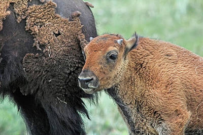 Photograph - Bison Calf by Jennie Marie Schell