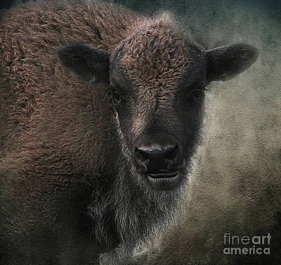 Photograph - Bison Calf Staredown by Clare VanderVeen