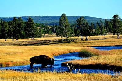 Photograph - Bison by Carrie Putz