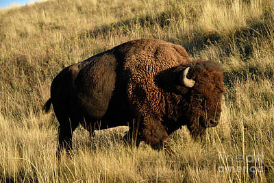 Photograph - Bison  by Cindy Murphy - NightVisions