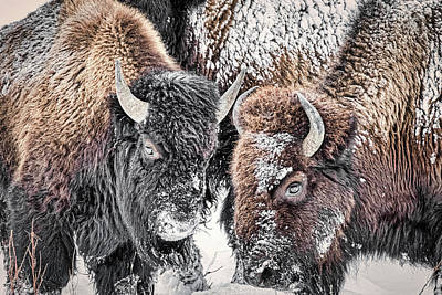 Photograph - Bison Closeup - Yellowstone by Stuart Litoff