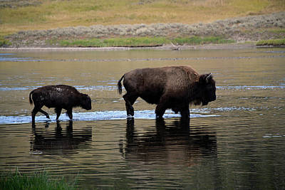 Photograph - Bison Cow And Calf Crossing Yellowstone River by Bruce Gourley