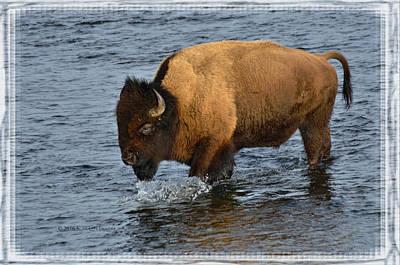 Bison Crossing River Art Print by Kae Cheatham