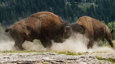 Photograph - Bison Duel by Mark Miller