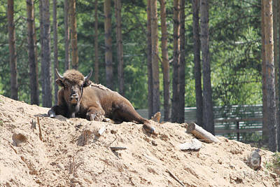 Bison Original by Evgeny Pisarev