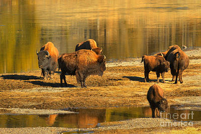 Photograph - Bison Family Crossing by Adam Jewell