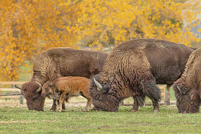 Photograph - Bison Family Nation by James BO Insogna