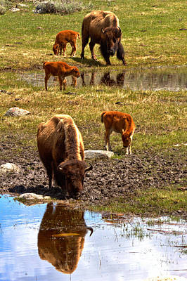 Photograph - Bison Family Reflections by Adam Jewell