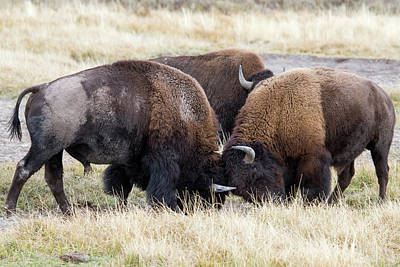 Photograph - Bison Fight by Wesley Aston