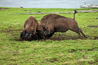 Photograph - Bison Fighting by Cindy Murphy - NightVisions