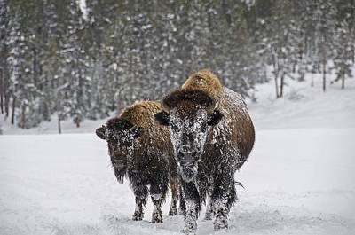 Photograph - Bison by Gary Lengyel
