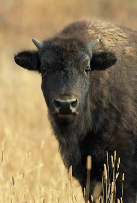 Bison Photograph - Bison Glance by John Blumenkamp