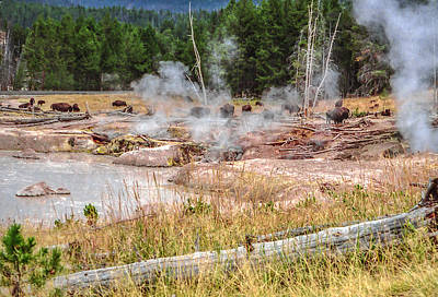 Photograph - Bison Grazing Amid Hot Springs And Geysers Yellowstone National Park by NaturesPix