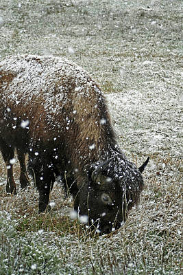 Photograph - Bison Grazing In Snow by Jeff Brunton