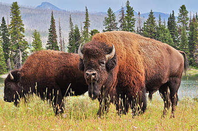Grand Tetons Photograph - Bison by Greg Norrell