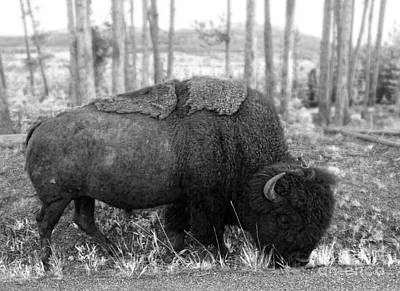 Photograph - Bison In Yellowstone by Gregory Dyer