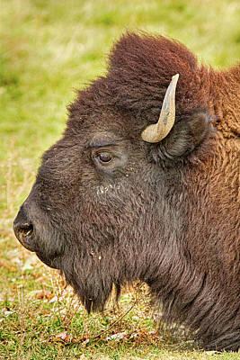 Bison Photograph - Bison Headshot Portrait by James BO  Insogna