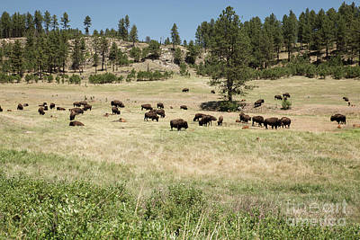 Nikki Vig Royalty-Free and Rights-Managed Images - Bison Herd Grazing by Nikki Vig