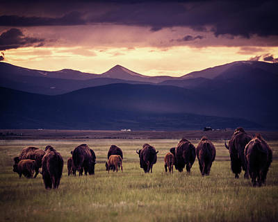 Photograph - Bison Herd Into The Sunset by Chris Bordeleau
