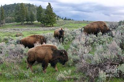 Photograph - Bison Herd by Sean Griffin