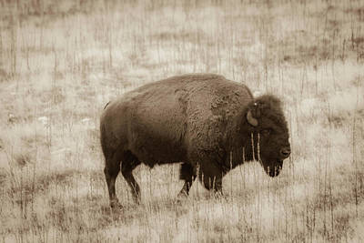 Photograph - Bison Heritage by Dallas Golden