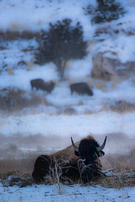 Photograph - Bison In A Hot Spring by Joe Doherty