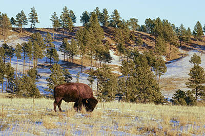 Bison In Custer State Park Art Print