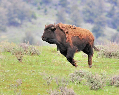 Bison In Flight Art Print by John R Young Jr