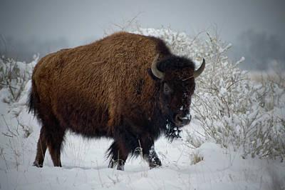 Photograph - Bison In Fresh Snow by John De Bord