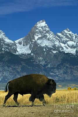 Bison In Grand Teton Art Print by Jean-Louis Klein & Marie-Luce Hubert