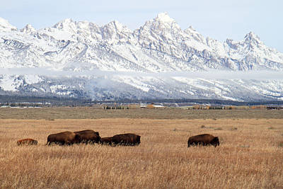 Vintage College Subway Signs Color - Bison in Grand Teton Natinoal Park by Pierre Leclerc Photography