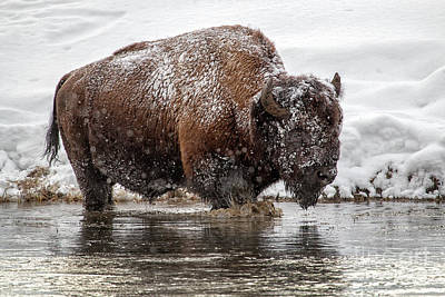 Photograph - Bison In Madison River by Sonya Lang