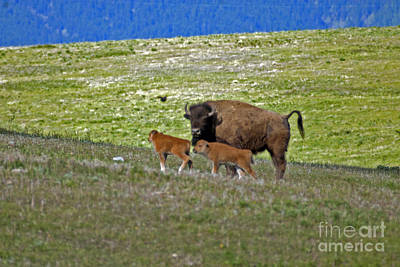 Photograph - Bison In Montana Nw by Cindy Murphy - NightVisions