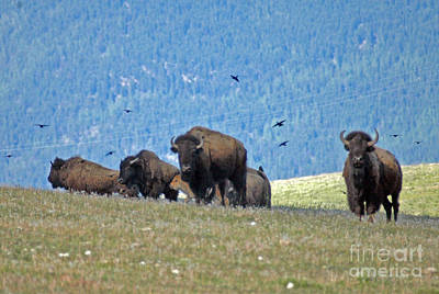 Photograph - Bison In Northwest Montana by Cindy Murphy - NightVisions