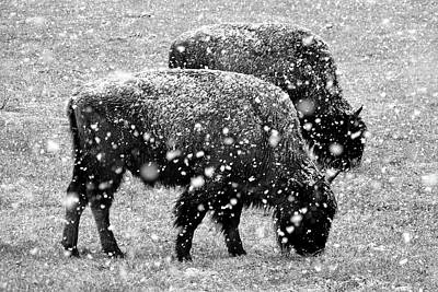 Photograph - Bison In Snow by Jeff Brunton
