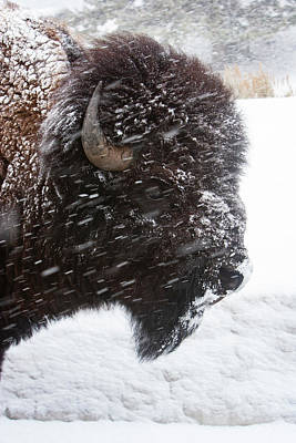 Photograph - Bison In Snow by Mark Miller
