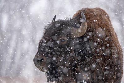 Photograph - Bison In Snow by Philip Rodgers