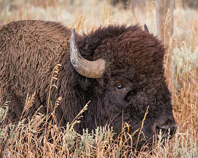 Art Print featuring the photograph Bison In The Grass by Mary Hone