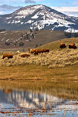Photograph - Bison In The Mountain Reflections by Adam Jewell