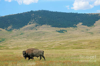 Photograph - Bison In The National Bison Range by Jason Kolenda