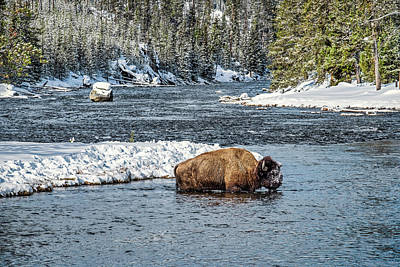 Photograph - Bison In The River - Yellowstone by Stuart Litoff