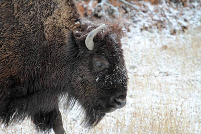 Photograph - Bison In The Snow Yellowstone by Pierre Leclerc Photography