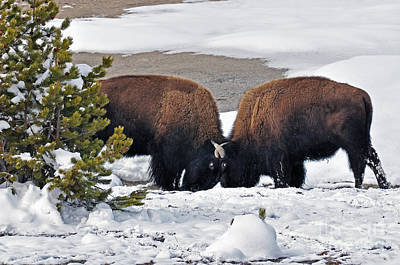 Photograph - Bison In Yellowstone by Cindy Murphy - NightVisions