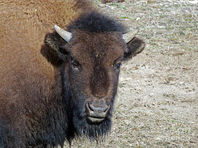 Photograph - Bison In Yellowstone by Don Murphy - NightVisions