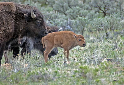 Photograph - Bison In Yellowstone433 by Cindy Murphy - NightVisions