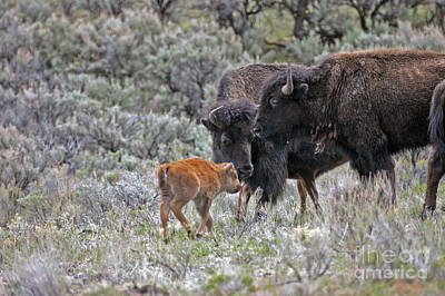 Photograph - Bison In Yellowstone448 by Cindy Murphy - NightVisions