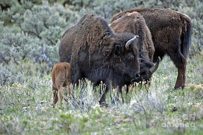 Photograph - Bison In Yellowstone430 by Cindy Murphy - NightVisions