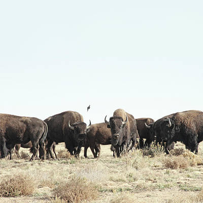 Buffalo Photograph - Bison by Lauren Mancke